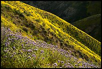 Purple Phacelia and ridges covered by yellow hillside daisies. Carrizo Plain National Monument, California, USA ( color)