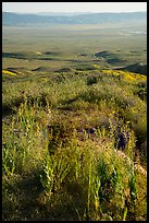 Desert Candles overlooking valley. Carrizo Plain National Monument, California, USA ( color)
