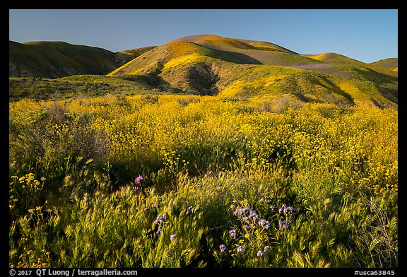 Grasses and wildflowers, Temblor Range hills, late afternoon. Carrizo Plain National Monument, California, USA (color)