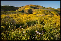 Grasses and wildflowers, Temblor Range hills, late afternoon. Carrizo Plain National Monument, California, USA ( color)