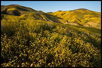 Yellow wildflower map and Temblor Range hills, late afternoon. Carrizo Plain National Monument, California, USA ( color)
