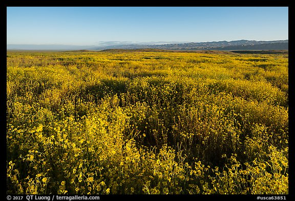 Endless carpets of daisies and distant Temblor Range. Carrizo Plain National Monument, California, USA (color)