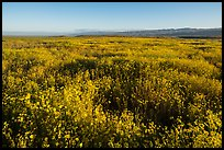 Endless carpets of daisies and distant Temblor Range. Carrizo Plain National Monument, California, USA ( color)