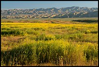Valley floor covered by flowers, and Temblor Range. Carrizo Plain National Monument, California, USA ( color)