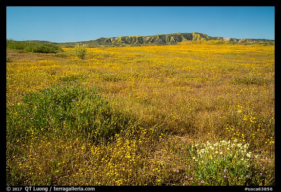 Wildflower carpet at the base of Caliente Range. Carrizo Plain National Monument, California, USA (color)