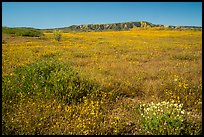 Wildflower carpet at the base of Caliente Range. Carrizo Plain National Monument, California, USA ( color)