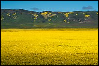 Wildflowers form solid yellow carpet below Caliente Range hills. Carrizo Plain National Monument, California, USA ( color)