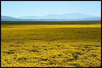 Dense carpet of yellow wildflowers on valley floor. Carrizo Plain National Monument, California, USA ( color)