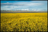 Solid carpet of yellow wildflowers and Temblor Range. Carrizo Plain National Monument, California, USA ( color)