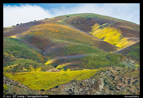 Hill with multicolored flower patches. Carrizo Plain National Monument, California, USA (color)