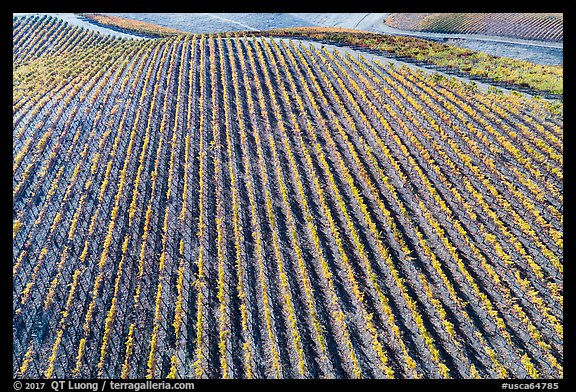 Aerial view of rows of vines on hill in autumn. Livermore, California, USA (color)
