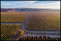 Aerial view of rows of vines and paths. Livermore, California, USA ( color)