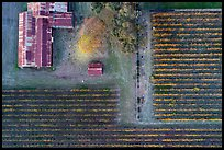 Aerial view of rusted barn and rows of vines looking straight down. Livermore, California, USA ( color)