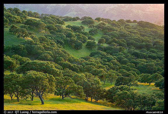 Oak trees in spring on hillside, Del Valle Regional Park. Livermore, California, USA (color)