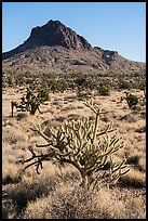 Cactus, Joshua Trees, grassland, and Hart Peak. Castle Mountains National Monument, California, USA ( color)