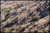 Slopes with juniper trees. Castle Mountains National Monument, California, USA ( color)