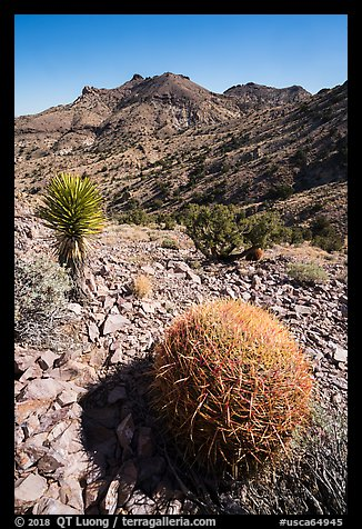 Barrel cactus, Yucca, Castle Mountains. Castle Mountains National Monument, California, USA (color)