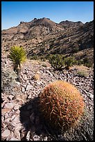 Barrel cactus, Yucca, Castle Mountains. Castle Mountains National Monument, California, USA ( color)