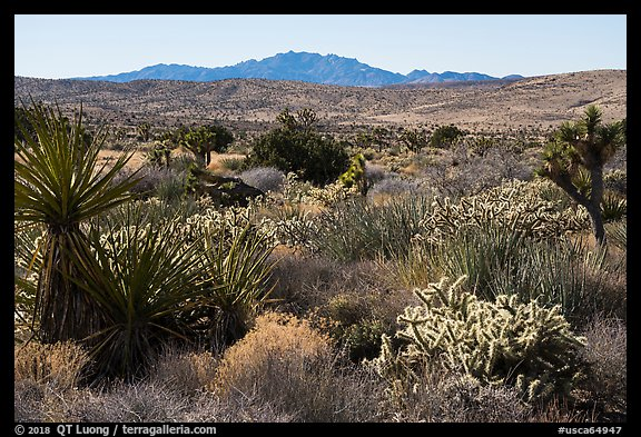Desert plants and New York Mountains. Castle Mountains National Monument, California, USA (color)