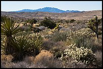 Desert plants and New York Mountains. Castle Mountains National Monument, California, USA ( color)