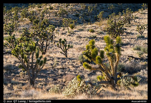 Joshua Trees and cacti. Castle Mountains National Monument, California, USA (color)