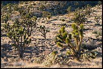 Joshua Trees and cacti. Castle Mountains National Monument, California, USA ( color)