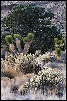 Cactus, yucca, and juniper. Castle Mountains National Monument, California, USA ( color)
