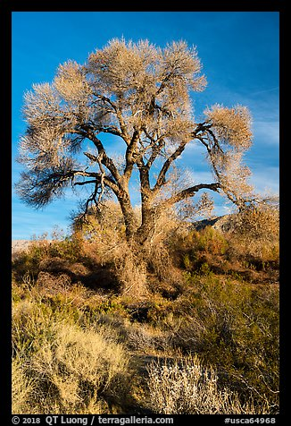 Fremont Cottonwood with bare branches, Mission Creek Preserve. Sand to Snow National Monument, California, USA (color)