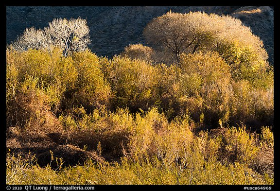 Riparian desert vegetation and cottowoods in winter, Mission Creek Preserve. Sand to Snow National Monument, California, USA (color)