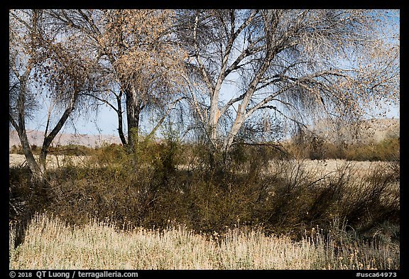 Grasses and cottonwoods in winter, Big Morongo Canyon Preserve. Sand to Snow National Monument, California, USA (color)