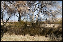 Grasses and cottonwoods in winter, Big Morongo Canyon Preserve. Sand to Snow National Monument, California, USA ( color)