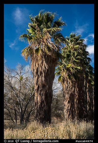 California native palm trees, Big Morongo Canyon Preserve. Sand to Snow National Monument, California, USA (color)