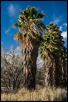 California native palm trees, Big Morongo Canyon Preserve. Sand to Snow National Monument, California, USA ( color)