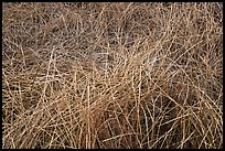 Reeds in winter, Big Morongo Canyon Preserve. Sand to Snow National Monument, California, USA ( color)