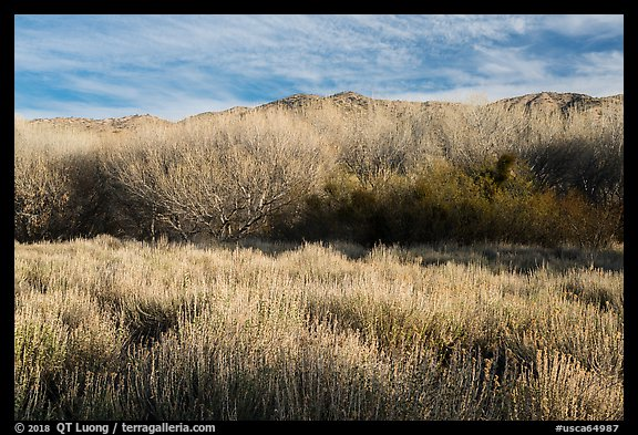 Goldenbush and bare trees in winter, Big Morongo Canyon Preserve. Sand to Snow National Monument, California, USA (color)
