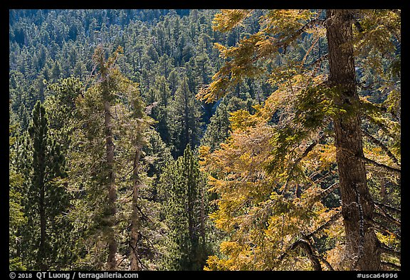 Conifer forest, Long Valley, San Jacinto Mountain. Santa Rosa and San Jacinto Mountains National Monument, California, USA (color)