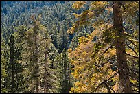 Conifer forest, Long Valley, San Jacinto Mountain. Santa Rosa and San Jacinto Mountains National Monument, California, USA ( color)