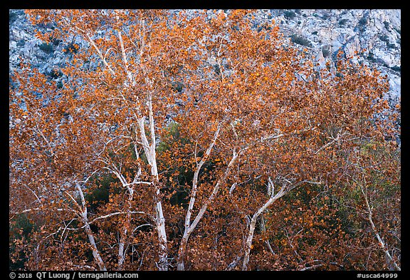 Sycamores with fall foliage. Santa Rosa and San Jacinto Mountains National Monument, California, USA (color)