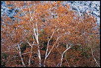 Sycamores with fall foliage. Santa Rosa and San Jacinto Mountains National Monument, California, USA ( color)