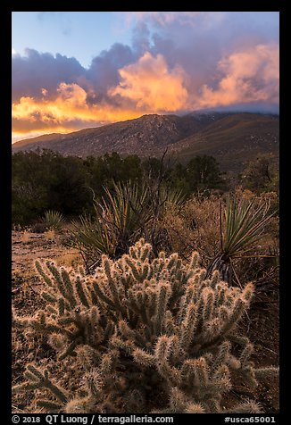 Cacti and Santa Rosa Mountains with clouds colored by sunrise. Santa Rosa and San Jacinto Mountains National Monument, California, USA (color)