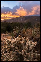 Cacti and Santa Rosa Mountains with clouds colored by sunrise. Santa Rosa and San Jacinto Mountains National Monument, California, USA ( color)