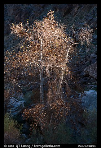 Spotlighted trees, Tahquitz Canyon, Palm Springs. Santa Rosa and San Jacinto Mountains National Monument, California, USA (color)
