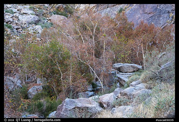 Trees in creek bed with remnants of autumn foliage, Tahquitz Canyon, Palm Springs. Santa Rosa and San Jacinto Mountains National Monument, California, USA (color)