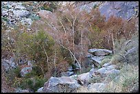 Trees in creek bed with remnants of autumn foliage, Tahquitz Canyon, Palm Springs. Santa Rosa and San Jacinto Mountains National Monument, California, USA ( color)