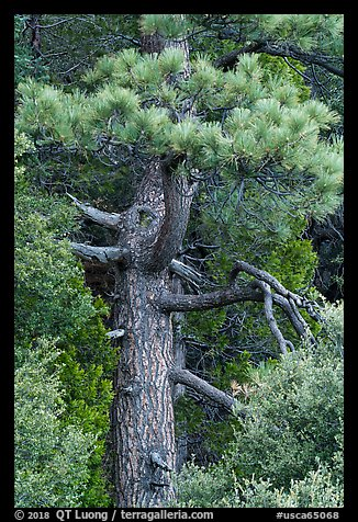 Pine tree. San Gabriel Mountains National Monument, California, USA (color)