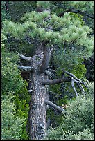 Pine tree. San Gabriel Mountains National Monument, California, USA ( color)