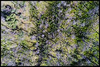 Aerial view of bare trees on hill, Cache Creek Wilderness. Berryessa Snow Mountain National Monument, California, USA ( color)