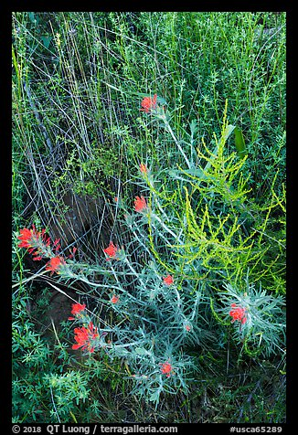 Indian Paintbrush, Stebbins Cold Canyon Reserve. Berryessa Snow Mountain National Monument, California, USA (color)
