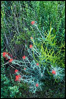 Indian Paintbrush, Stebbins Cold Canyon Reserve. Berryessa Snow Mountain National Monument, California, USA ( color)