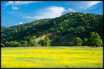 Meadow with yellow carpet of wildflowers, Knoxville Wildlife Area. Berryessa Snow Mountain National Monument, California, USA ( color)